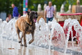 Running dog along water fountains city runs in the city Royalty Free Stock Image