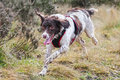 Running dog english springer spaniel gun Royalty Free Stock Images