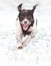 Running dog in snow Royalty Free Stock Photo