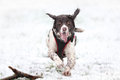 Running dog in snow Royalty Free Stock Images