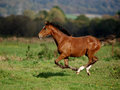 Running Foal Royalty Free Stock Photos