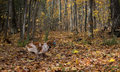 Running french brittany playing fetch with blue ball in a fall wooded setting Royalty Free Stock Images