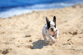 Running french bulldog puppy on the beach Royalty Free Stock Image