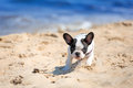 Running french bulldog puppy on the beach Stock Images