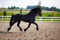 Running frisian horse Royalty Free Stock Photo