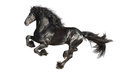 Running gallop friesian black horse isolated on the white Stock Images