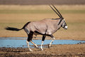 Running gemsbok antelope oryx gazella at a waterhole kalahari desert south africa Stock Images