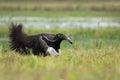 Running Giant Anteater, Myrmec...