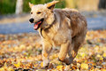 Running Golden retriever Stock Images