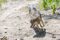 Running gray wolf (Canis lupus) Royalty Free Stock Photo