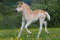 Running haflinger pony foal nice Royalty Free Stock Photos