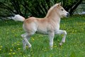 Running haflinger pony foal Royalty Free Stock Photo