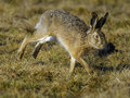Running Hare Stock Photo