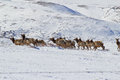 Running herd of elk Royalty Free Stock Photo