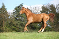 Running horse with beautiful chestnut color on pasturage in front of some trees Stock Photos