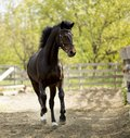 Running horse Royalty Free Stock Photo