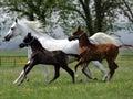 Running horses Royalty Free Stock Photo