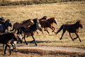 Running horses on the grassland Stock Images