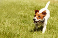 Running jack russell terrier on the grass Stock Photography