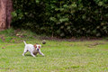 Running jack russell terrier for thrown ball aport female dog Royalty Free Stock Photo