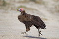 A Running Lappet-faced vulture Royalty Free Stock Photo