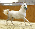 Running lipizzaner horse in empty riding hall Royalty Free Stock Photo