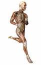 Running man, muscular system, digestive system, anatomy