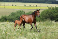 Running mare foal front fields Stock Photography