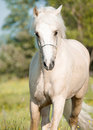 Running palomino welsh pony portrait of in field outdoor Stock Photography
