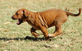 Running puppy Royalty Free Stock Image
