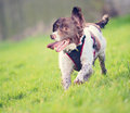 Running puppy dog at speed on grass Stock Photos