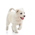 Running puppy dog Royalty Free Stock Photo