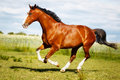 Running purebred horse brown on grass during summer time Royalty Free Stock Photos