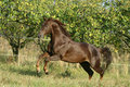 Running quarter horse stallion in frot of trees Royalty Free Stock Image