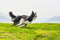 Running quick and elegant dog border collie Royalty Free Stock Photo