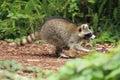 Running raccoon Royalty Free Stock Photo