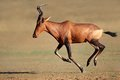 Running red hartebeest Royalty Free Stock Image