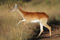 Running red lechwe antelope female kobus leche southern africa Stock Images