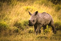 Running rhino cub Royalty Free Stock Photo