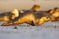 Running seal. Seal in white sand beach. Running animal. Mammal action scene. Atlantic Grey Seal, Halichoerus grypus, detail portra