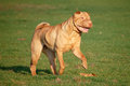 Running sharpei Royalty Free Stock Photos
