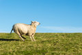 Running sheep on a meadow with blue sky Royalty Free Stock Photos