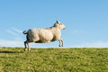 Running sheep on a meadow with blue sky Royalty Free Stock Images