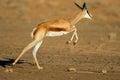 Running springbok antelope Royalty Free Stock Photo