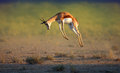 Running springbok jumping high antidorcas marsupialis kalahari south africa Royalty Free Stock Photography