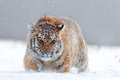 Running tiger with snowy face. Tiger in wild winter nature. Amur tiger running in the snow. Action wildlife scene, danger animal. Royalty Free Stock Photo