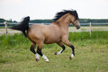 Running welsh cob pony on the paddock Royalty Free Stock Image