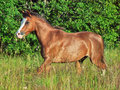 Running welsh pony in the field sunny evening Royalty Free Stock Images