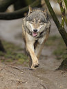 Running Wolf ( Canis lupus ) Royalty Free Stock Photo