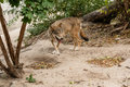 Running wolf Royalty Free Stock Photo
